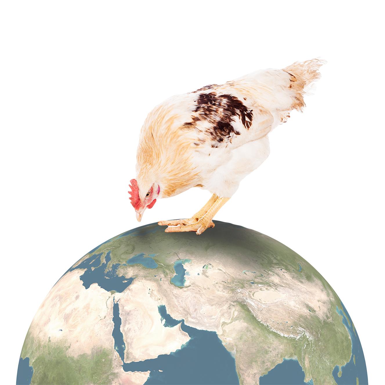 Kana maapallolla