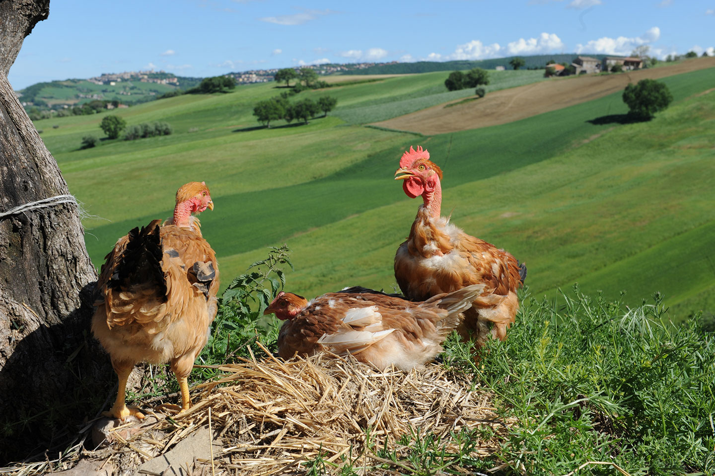 Three chickens sitting on a hilltop